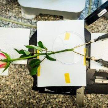 Wires and SuperCapacitors Constructed Inside Living Plants